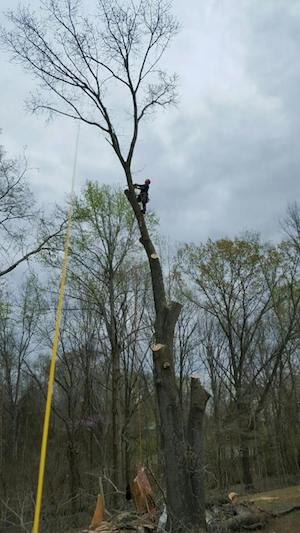 guy removing a large tree in clarksville tennessee